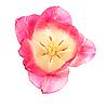 粉红色的郁金香 | 免版税照片
