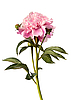 Pink peony | Stock Foto