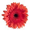 美丽的红色非洲菊 | 免版税照片