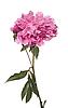 粉红色的牡丹花 | 免版税照片