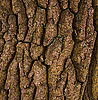 Bark of oak | Stock Foto