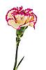 Photo 300 DPI: Carnation