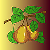 Vector clipart: Two mature yellow pears