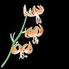 Векторный клипарт: цветок лилии, изолированные на черный