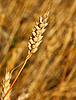 ID 3102947 | Yellow grain ready for harvest growing in farm field | High resolution stock photo | CLIPARTO
