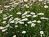 Фото 300 DPI: области ромашки цветы
