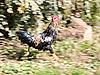 Photo 300 DPI: cock running