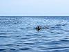 Фото 300 DPI: пятнистый тюлень (Phoca ларга) в чистой воде