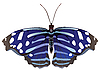 Vector clipart: exotic butterfly