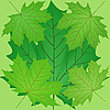 Vector clipart: Green leaves of the maple