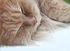 Lazy sleeping persian cat   Stock Foto