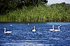 Swans | Stock Foto