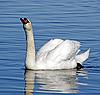 Swan | Stock Foto