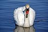 Severe swan | Stock Foto