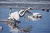 White swan | Stock Foto