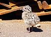 Nestling of seagul | Stock Foto
