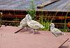 Nestlings of seagull | Stock Foto