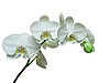 Orchid | Stock Foto