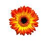 Gerbera flower | Stock Foto