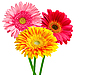 Gerbera-Blumen | Stock Photo