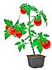 Tomato plant | Stock Foto