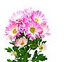 Dahlia flowers | Stock Foto