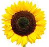 Słonecznikowy | Stock Foto