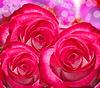 Kwiaty róży | Stock Foto