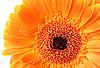 非洲菊花卉 | 免版税照片