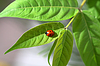 Photo 300 DPI: ladybug on leaf