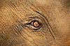 小象`哭泣的眼睛   免版税照片