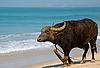 ID 3106312 | Indian Buffalo on the Beach | 높은 해상도 사진 | CLIPARTO