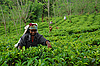 Lady Tea Worker At The Tea Plantation | Stock Foto