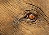 小牛大象`哭泣的眼睛   免版税照片