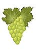 Vector clipart: clous-up green grape