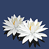 Vector clipart: Lotus flowers