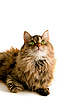 ID 3104906 | Fluffy cat looking up | High resolution stock photo | CLIPARTO