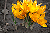 Spring flower crocus | Stock Foto