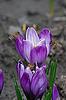 Krokusblumen und Bienen | Stock Foto