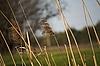 Kilka suche łodygi trzcin   Stock Foto