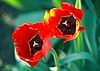 Two bright red tulips | Stock Foto