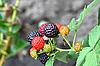Blackberry | Stock Foto