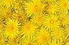 Background of flowering yellow dandelions | Stock Foto