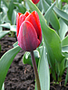 Red Tulip | Stock Foto
