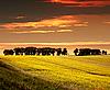 Rape Seed Field on sunset | Stock Foto