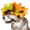 Dog in maple wreath | Stock Foto