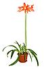 Blooming hippeastrum | Stock Foto