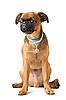 ID 3091146 | Petit Brabançon puppy | High resolution stock photo | CLIPARTO