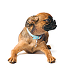 Petit Brabançon puppy | Stock Foto