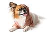 Pies rasy papillon | Stock Foto